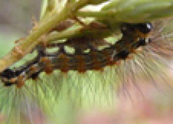 Pesquisadores encontram superproteína em lagartas